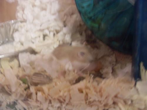 Baby Pavlet