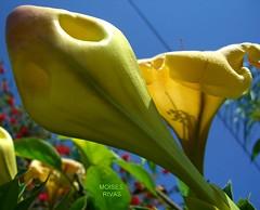 Golden Chalice Vine flower (morito36pa) Tags: flowers flores cup explore goldenchalice natureselegantshots goldenchalicevineflower vosplusbellesphotos morito36pa moisesrivas morito36paexplore moritosexplore