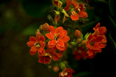 flores vermelhas (Jayme Diogo) Tags: flores nikon jayme d40 diooh