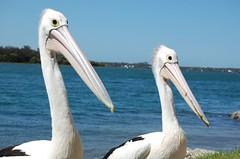 Pelicans, Port Macquarie (phoof) Tags: pelicans fishing portmacquarie