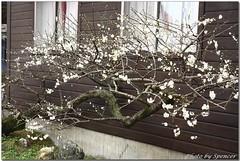 IMG_7757hsini.jpg (Spencer Hsieh & Voicechien) Tags: blossom plum  plumblossom prunus  nantou  hsini   mume