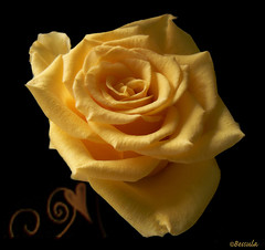 "A single rose can be my garden... a single friend, my world. (Bessula) Tags: flower art rose yellow garden heart natur soe onblack millefiori supershot addictedtoflickr fineartphotos abigfave platinumphoto flickrdiamond bessula theunforgettablepictures goldstaraward natureselegantshots ""ourmasterpieces rubyphotographer awesomeblossoms goldenheartaward simplythebest~flowers flickrflorescloseupmacros"
