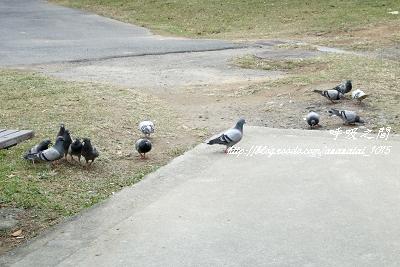 途經看見的鴿子