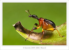 2.8 Giraffe Weevil 棕長頸捲葉象鼻蟲  Paratrachelophorus nodicornis (female)... s.i.d.e ... (liewwk - www.liewwkphoto.com) Tags: macro animal closeup canon bug insect natural beetle 28 50d digitalcameraclub abigfave canon50d natureoutpost macrolife ahqmacro 棕長頸捲葉象鼻蟲 bukitmas 100commentgroup amazingmacros giraffeweevil superamazingmacrosaward mpe65macro paratrachelophorus nodicornis