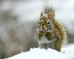 me again... (Nancy Rose) Tags: wild snow cute nature animal snowflakes squirrel tail fluffy seeds deck snowing naturesfinest vosplusbellesphotos photocontesttnc09