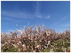 Japanese Apricot Farm 090228 #01