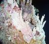 Maug caldera corals