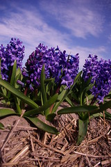 Hyacinths (RobKuijper) Tags: holland purple hyacinth bollenstreek flowerbulb