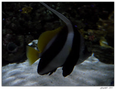 Poisson-Cocher (Greyshift11) Tags: life sea mer france lumix dragon nemo clown panasonic bleu g1 mm 45mm dory dmc geant poissons 1445 200mm crabe 14mm murene crabzilla hippocampe chirurgien hippocampes dmcg1