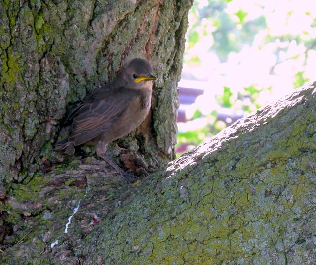 birdling