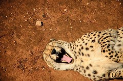 Smile (dustwatch) Tags: zoo cheetah monarto cotcpersonalfavorite