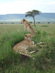 Two cheetahs. (Kimojino) Tags: kenya maasai cheetahs masaimara maraconservancy maratriangle wwwmaraconservancycom