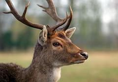 something else (hans solcer) Tags: animal deer animalplanet flickrgold diamondclassphotographer flickrdiamond ysplix