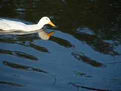 080221 duck