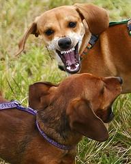 Dog Spat (Bill Adams) Tags: dog hawaii dachshund explore getty waimea canonef2470mmf28lusm miniaturedachshund kamuela onipaa pilipaa