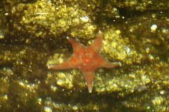 DSC01062 (spuzzum42) Tags: kayak starfish victoria kayaking brentwoodbay todinlet