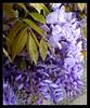 mauve (giulifff) Tags: fabulous picturesque wisteria glicine blueribbonwinner mywinners aplusphoto superbmasterpiece alarecherchedutempperdu flickrlovers
