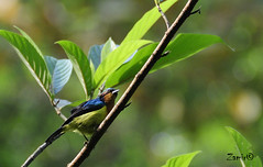 Ruby-cheeked Sunbird (Anthreptes singalensis) Male (Z.Faisal) Tags: blue test green bird nature birds nikon natural beak feathers aves nikkor sylhet bangladesh avian bipedal bangla faisal sunbird desh d300 zamir pakhi endothermic anthreptes nikkor18200mmvrii chalcopariasingalensis rubycheekedsunbird zamiruddin shatchori rubycheeked singalensis shatchari zamiruddinfaisal zfaisal