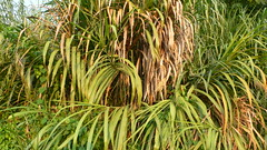 Miscanthus sp.   (oxbelltam) Tags: poaceae   miscanthusspoctober