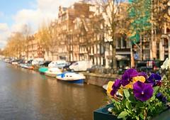 Amsterdam Pansy (jphanky08) Tags: amsterdam pansy amsterdamcanal