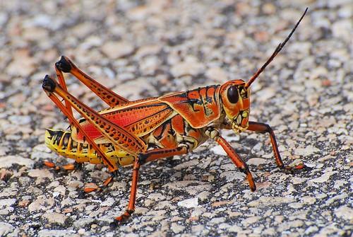 Grasshopper, 29Apr08 par Pervez 183A