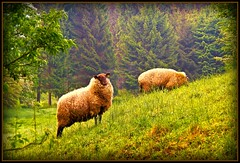 Schafe in Hckhausen - sheep in the morning (NPPhotographie) Tags: tree green art nature animal germany spring sheep creative cologne oberberg golddragon anawesomeshot aplusphoto colourartaward