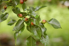 baby pears