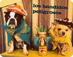 the dangerous bandits (EllenJo) Tags: arizona usa pets chihuahua silly dogs mexicana vintage mexico bostonterrier ivan mexican albumcover floyd 2008 digitalimages sombreros incostume bandidos ellenjo editedwithpicnik guapisimos ellenjoroberts ellenjdroberts dogsindisguise blamethisonmymomshesentthesombreros losbandidospeligrosos