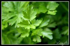 Perrexila (Petroselinum crispum)) (xingola) Tags: euskalherria nafarroa arraioz perrexila