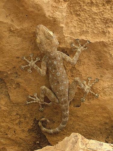 ptyodactylus_guttatus