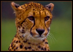 cheetah (unonymous) Tags: wild animal closeup cat feline zoom wildlife cheetah wildcat als 400mm africanlionsafari canadiangeographic theunforgettablepictures