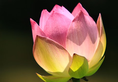 Lotus Blossom (` Toshio ') Tags: pink flower washingtondc dc washington petals lotus bokeh blossoms bloom aquatic elegant excellence toshio aquaticgarden lotusblossoms abigfave impressedbeauty aplusphoto