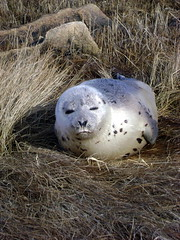 BABY HARP SEAL (PALEIDIA-Very Busy) Tags: cape cod