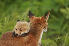 Vixen and Kit_Q2E5505 (bud_marschner) Tags: red alaska bravo searchthebest fox vixen mcneil naturesfinest blueribbonwinner specanimal naturewatcher vosplusbellesphotos goldenvisions