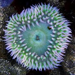 Anthopleura xanthogrammica (dean.janiak) Tags: sea underwater anemone anthopleura xanthogrammica deanjaniak