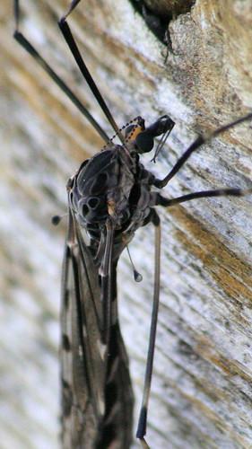 cranefly4