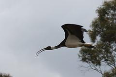 Straw-necked ibis (kasia-aus) Tags: bird nature animal wings flight australia ibis canberra act strawneckedibis threskiornisspinicollis avianexcellence thewonderfulworldofbirds royalibis threskioonisspinicollis