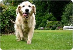 Arthur ! Golder retriever dog (© Andrew) Tags: dog cão hond retriever perro pies 犬 chein собака