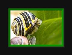 Snail eyes, hide and seek (Arie van Tilborg) Tags: eye foot shell snail tentacle slak loveatfirstsight anawesomeshot