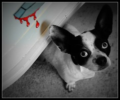 Stitch II (_MissAgentCooper) Tags: dog berlin animal germany stitch noiretblanc hund augen fell shoppen onlyyourbestshots kubrickslook