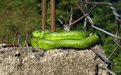 Bothriechis thalassinus on fence (Josiah Townsend) Tags: reptile snake honduras culebra viper serpiente crotalinae viperidae pitviper palmpitviper animaliachordatasauropsidasquamata