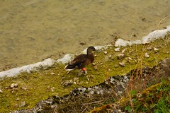 IMG_8057 (christophemurphy) Tags: duck tring