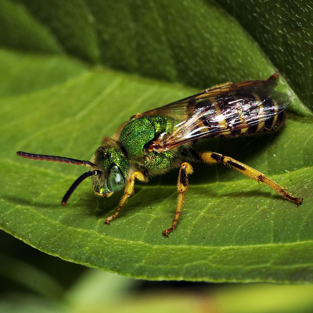 Metallic Green Sweat Bee (Agapostemon sericeus)
