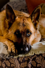 Koen-2 (**Ewie**) Tags: dog pet explore koen germanshepherd protect gsd impressedbeauty sal85f14za