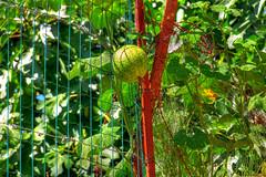 Melon (Takadanobaba Kurazawa) Tags: blue france color fruit for drive interestingness call village starter south images bleu ciel artists need getty yelow melon freelance blueribbonwinner kik nightcall expoflickr afsdx18135mmf3556edif boosterme