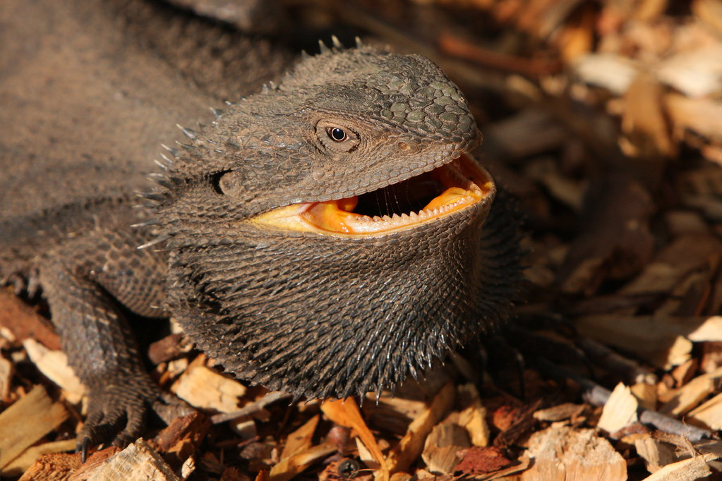 Red And Black Bearded Dragon | www.pixshark.com - Images ...