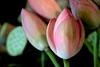 (HORIZON) Tags: pink flowers flower green persian lowlight photographer iran horizon naturallight persia handheld iranian delicate naturalight 40d mywinners canoneos40d exposuretime1100 canon24105mmf4lisusmlens focallenght105 fnumber56