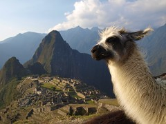 Llama at Machupicchu, Peru (chuha) Tags: travel alpaca peru landmark worldheritagesite machupicchu zd twtmeiconoftheday 1442mm impressedbeauty