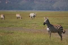 Leader of the Zebras