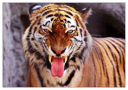 The Bengal Tigre